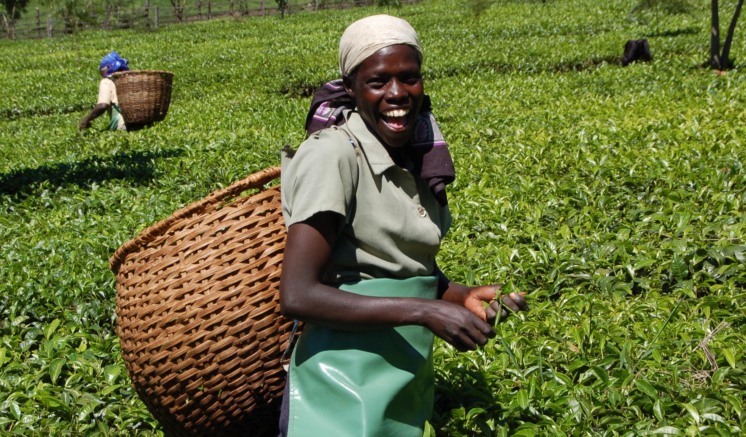 Farmers Life Insurance >> Tea farmers to earn Ksh84 billion – Business Today News