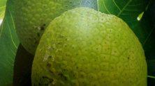 Breadfruit-photo-2-222x124.jpg