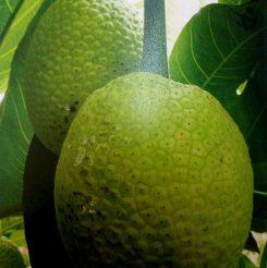 Breadfruit-photo-2-245x246.jpg