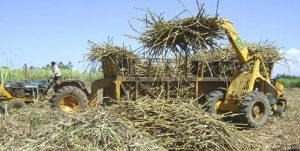 Harvesting sugar cane. President Uhuru Kenyatta has said the government will implement recommendations of the Taskforce as part of ongoing efforts to revive the sector. www.businesstoday.co.ke