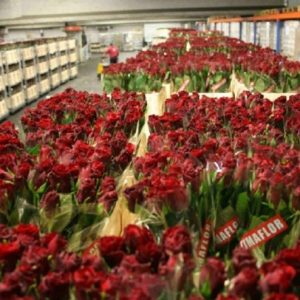 Kenya's flower exports contributed Ksh 113.16 billion up from Ksh 82.24 billionearned in 2017, representing 37.8% growth. www.businesstoday.co.ke