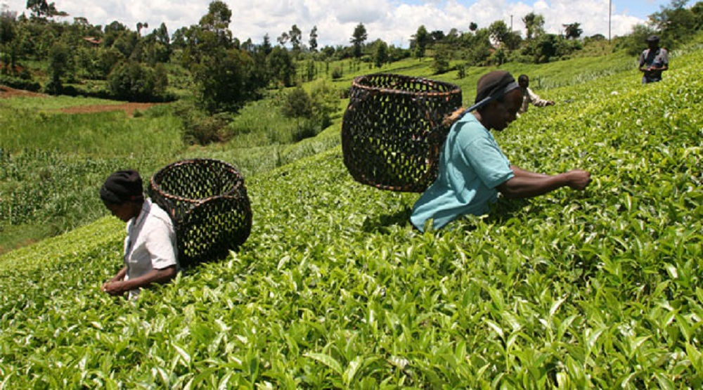 Tea harvesting tea. Kenya mainly exports to Pakistan its world-acclaimed tea, with the nation being the country's leading market for the beverage. www.businesstoday.co.ke
