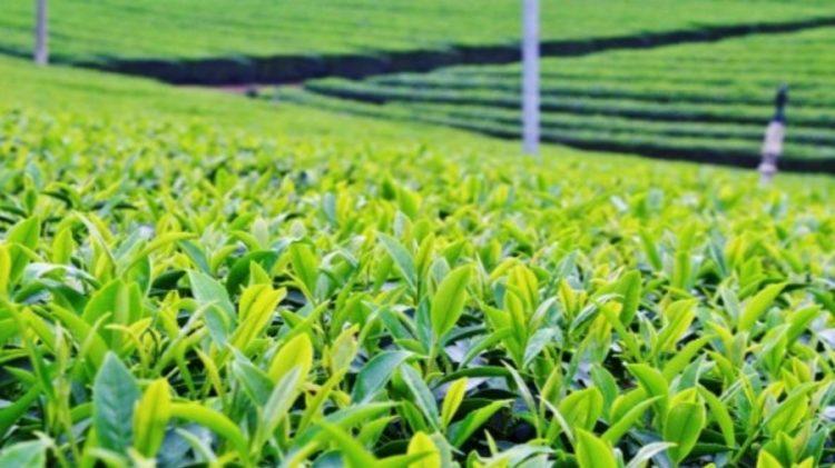 A section of the Kapchorua tea farm. www.businesstoday.co.ke