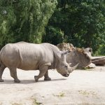 A northern white rhino. Scientists said removal of eggs from the world's only remaining northern female white rhinos, called Najin and Fatu, was a culmination of years of research and trials based on international best practices www.businesstoday.co.ke