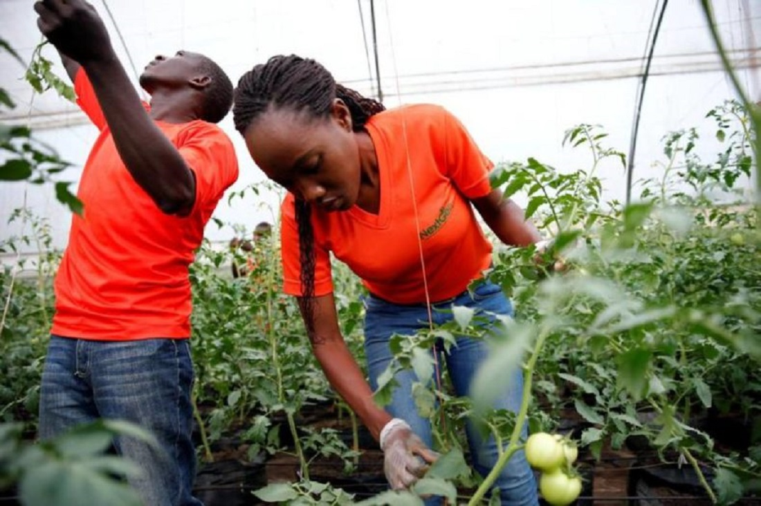 Youth involved in tomato farming. Youth inclusion, engagement, and most importantly, retention in the agriculture sector are hot topics www.businesstoday.co.ke