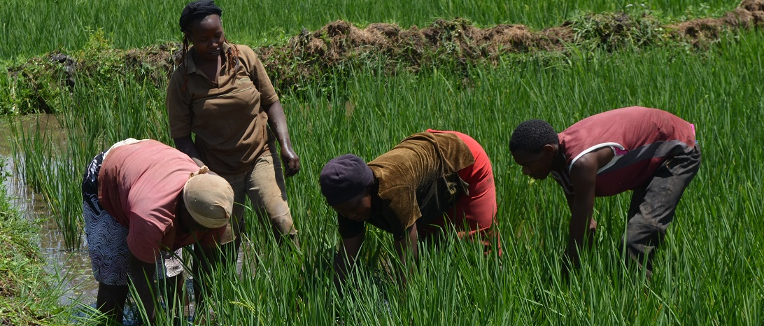 Child labour in Mwea Rice fields www.businesstoday.co.ke