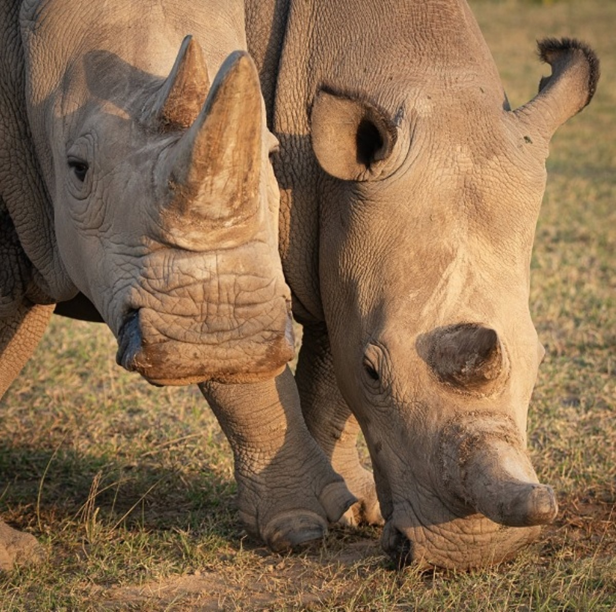 Hope for Northern White Rhino After Italian Lab Last Male