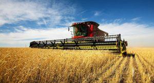 Wheat farming in kenya 2 www.businesstoday.co.ke