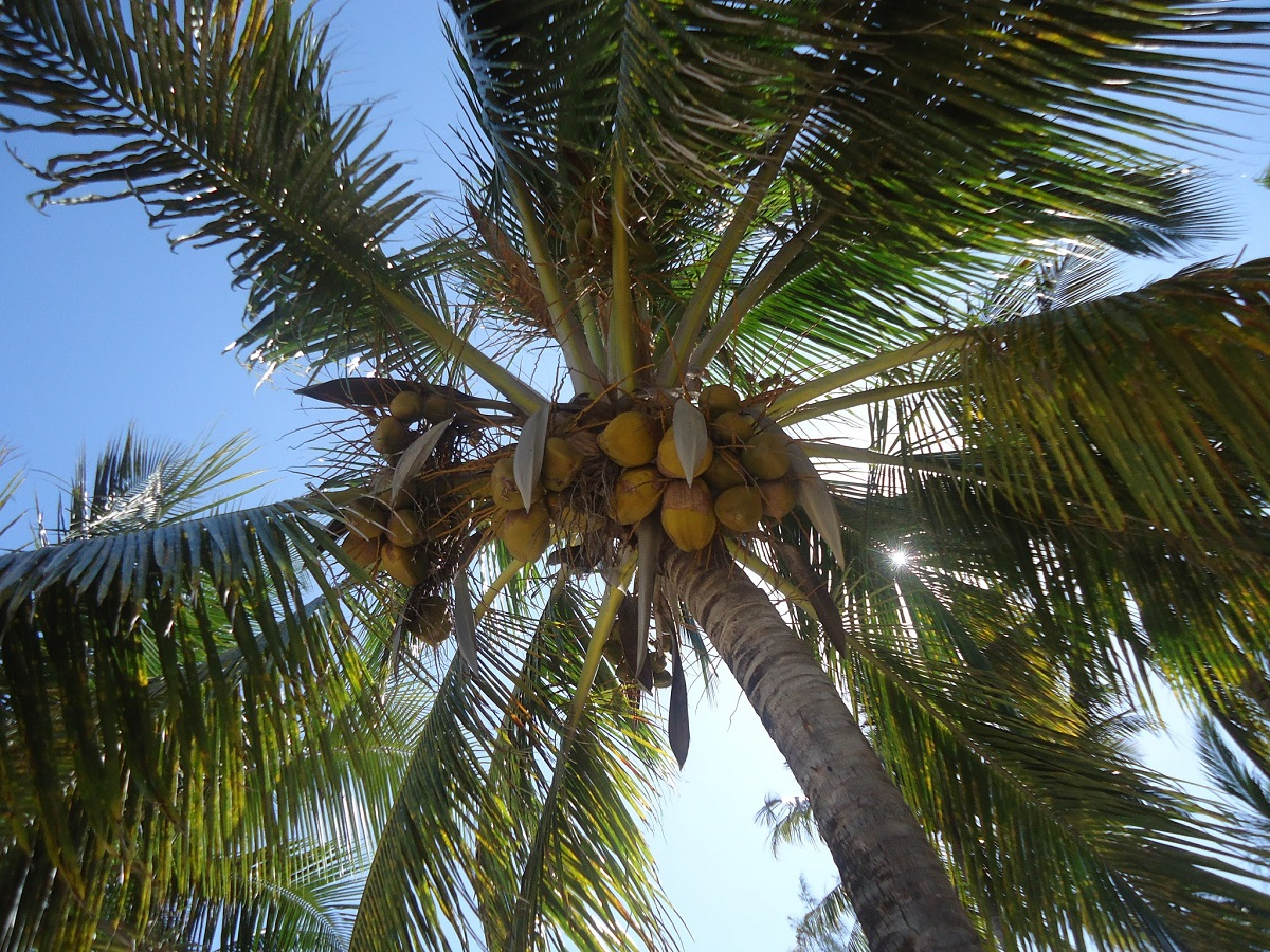 A coconut tree at a beach in Mombasa. In addition to the white sandy beaches, Mombasa has an extremely rich and interesting cultural history. www.businesstoday.co.ke
