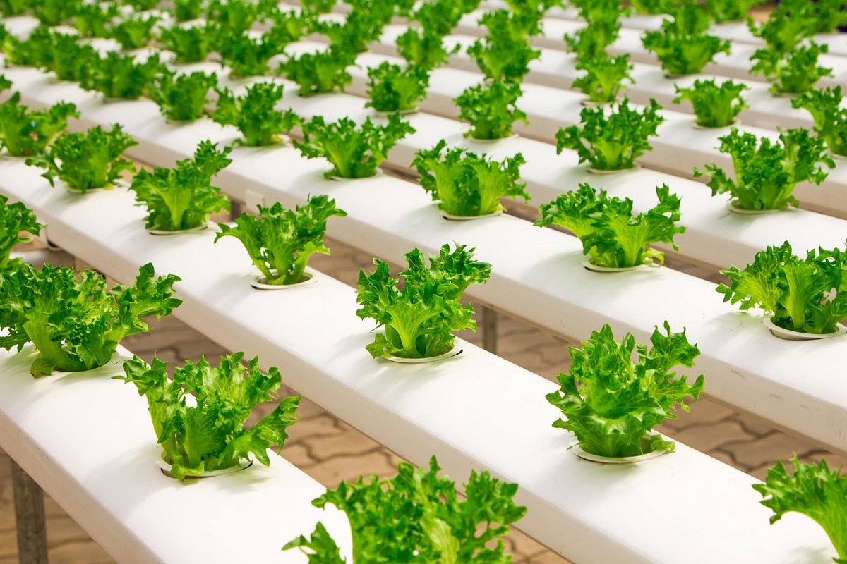 Hydroponics farming. It is a method of growing plants in a nutrient solution without soil and the training is part of the 2jiajiri programme. www.businesstoday.co.ke
