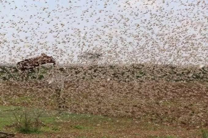 The locusts problem is far from over as the deadly insects are expected to be around till June. www.businesstoday.co.ke