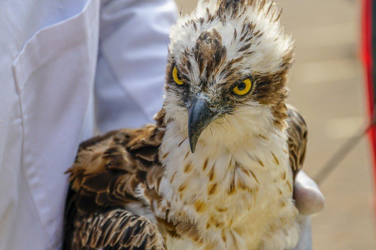 Osprey bird dead beak www.businesstoday.co.ke