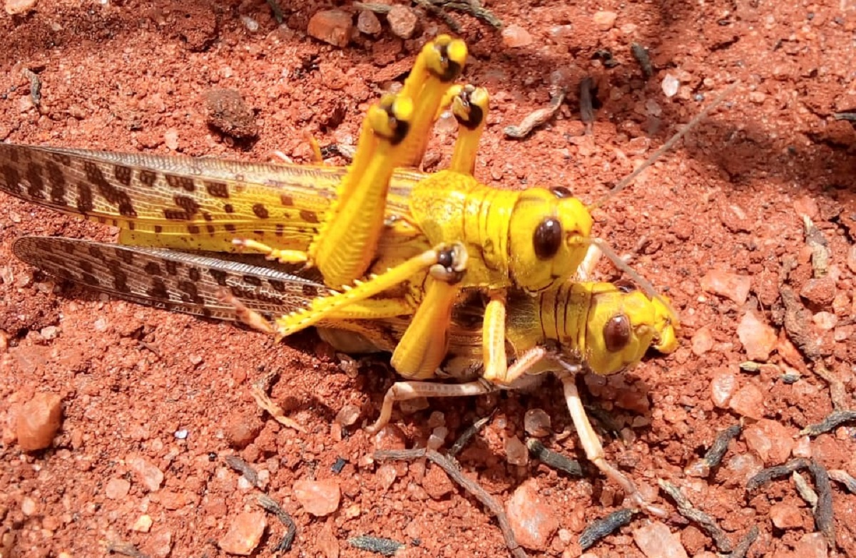 Desert Locusts mating. The FAO says that the situation in East Africa is extremely alarming and will get worse with new infestations. www.businesstoday.co.ke
