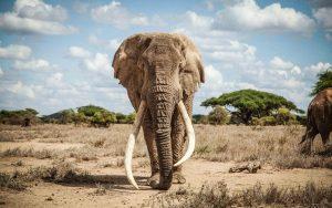 Tim, the Big Tusker Elephant, died on 4th February 2020. www.businesstoday.co.ke