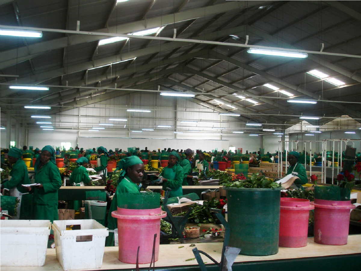 Oserian Flowers packing house at Olkaria. The Kenya flower sector is losing Sh20 million every day and has sent home more than 30,000 temporary workers and 40,000 permanent staff. www.businesstoday.co.ke
