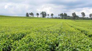 A section of Kangaita Tea Farm in Kirinyaga County. Tea contributes over 23 per cent of Kenya's foreign exchange.