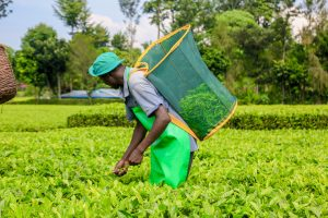 A tea picker on a farm