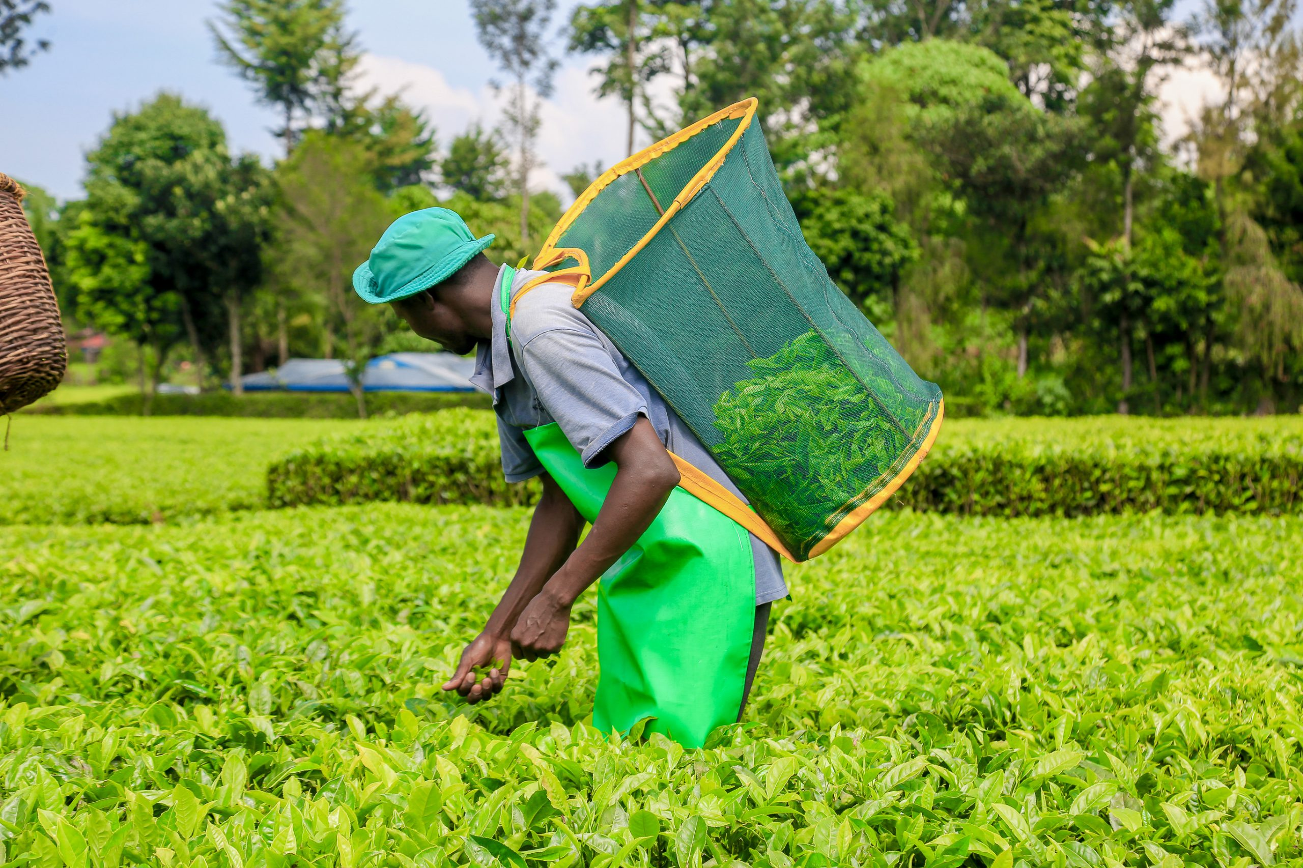 A tea picker on a farm. The Senate on December 21, 2020 passed the Tea Bill.