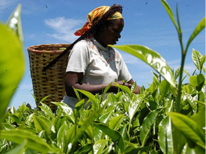 A tea picker on a farm. The Tea Bill proposes radical changes for the multi-billion shilling tea sector.