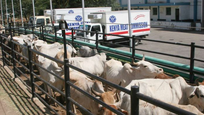 Cows waiting to be slaughtered at the Kenya Meat Commission in Athi River . KDF wants KMC removed from the list of parastatals identified for privatization. (Photo: PETERSON GITHAIGHA)