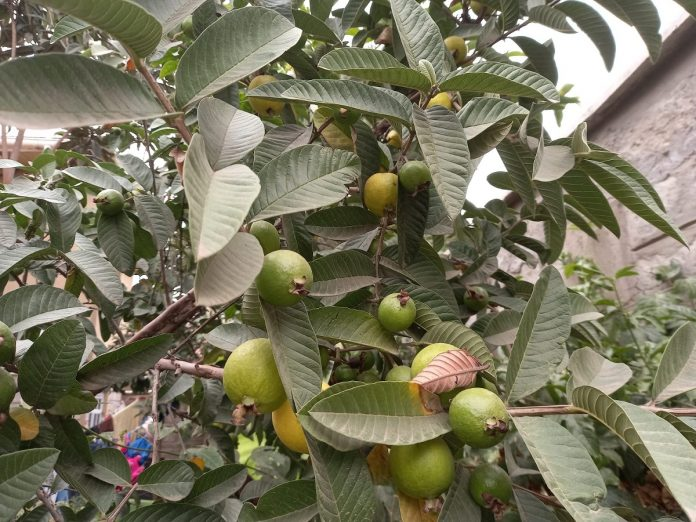 health Benefits of Guava leaves and fruit