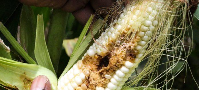 maize pests